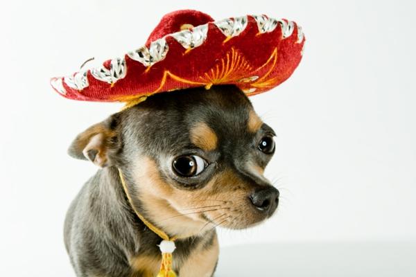 schöne hunderassen chihuahua der kleinste hund