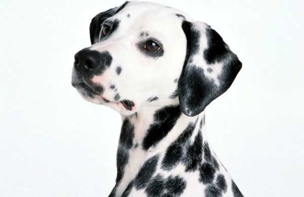 schöne-hunderassen-dalmatiner-hund-haustiere