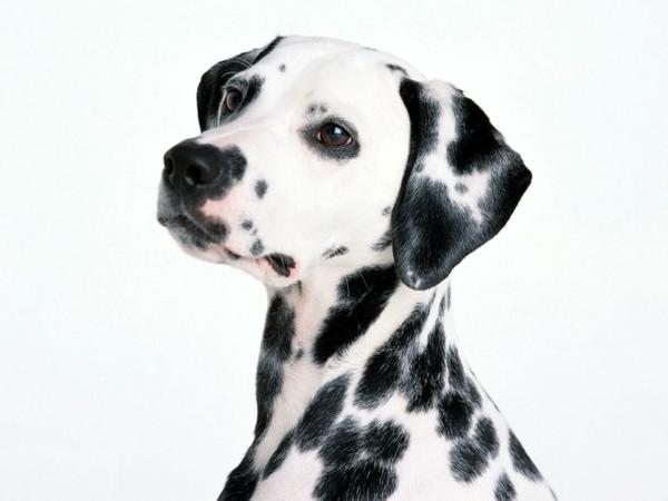schöne hunderassen dalmatiner hund haustiere
