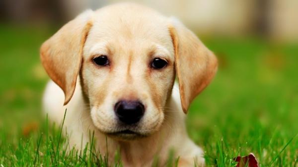 schöne hunderassen labrador hund gras