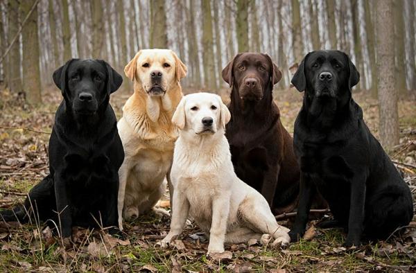 schöne hunderassen labrador hunde unterschiedliche farbe