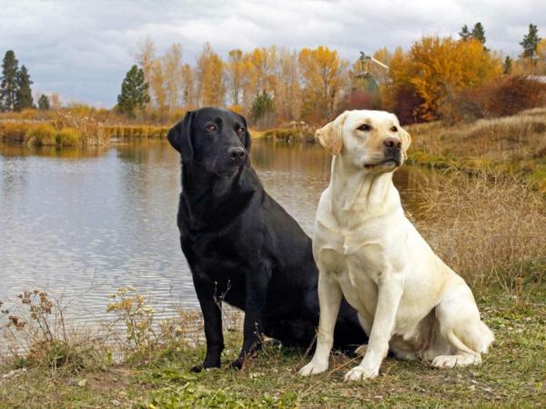schöne hunderassen labrador paar weiß schwarz