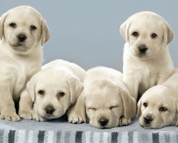 schöne hunderassen labrador welpen weiß