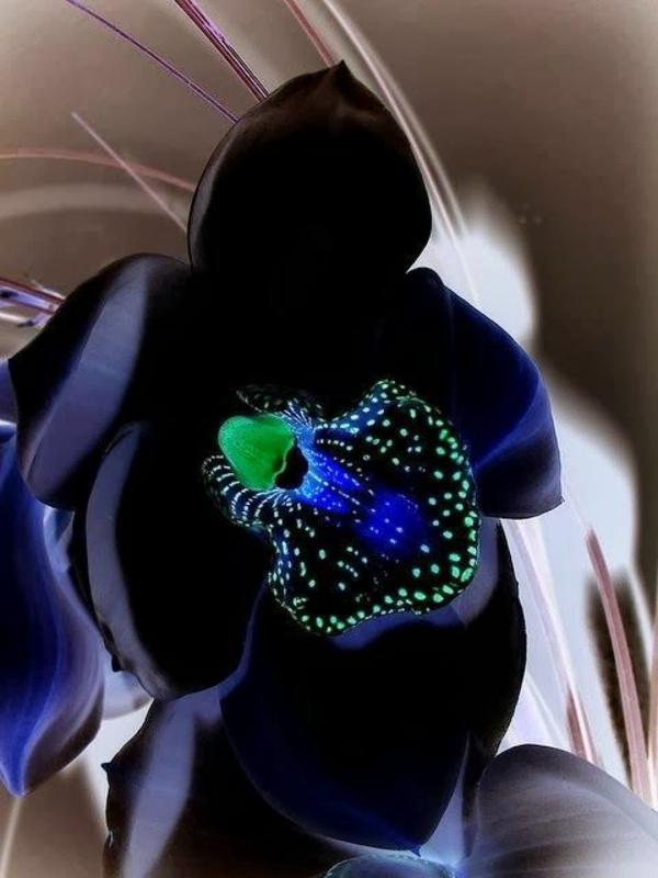 schöne schwarze orchidee orchideen blumen
