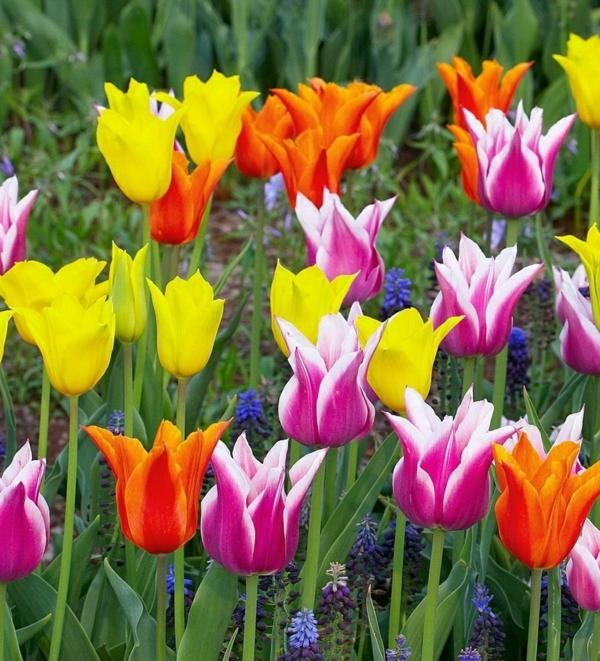 schöne tulpen farbig frisch pflanzen garten