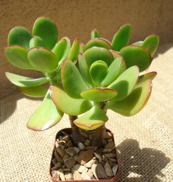 sukkulenten crassula ovata pflanzen zuhause dekoration