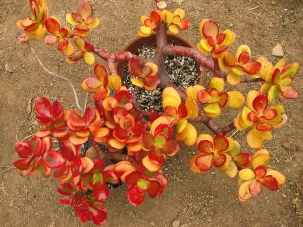 sukkulenten schöne blätterfärbung garten pflanzen