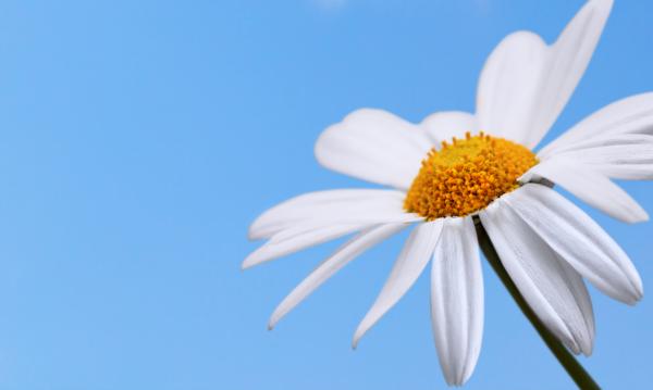 symbolik blumen gänseblümchen pflanzen
