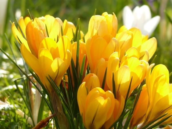 symbolik blumen gelbe krocusse pflanzen