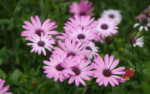 symbolik blumen lila gänseblümchen pflanzen