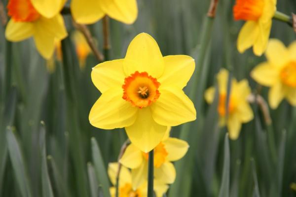 symbolik blumen narzissen gelb