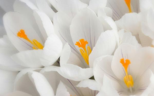 symbolik blumen weiße lrokusse deko ideen