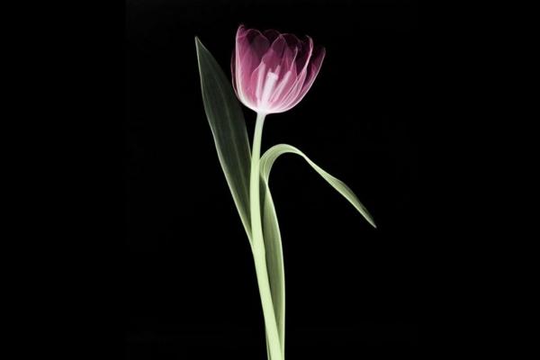 tulpe schwarzer hintergrund garten pflanzen
