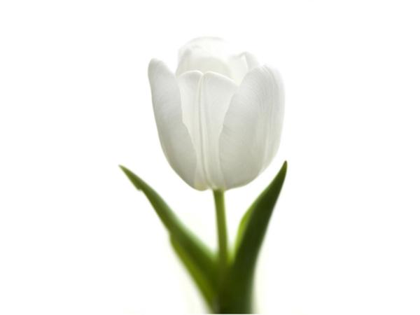 tulpe weiße blüte garten pflanzen