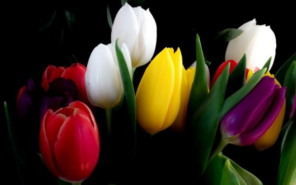 tulpen verschiedene schattierungen schön frisch