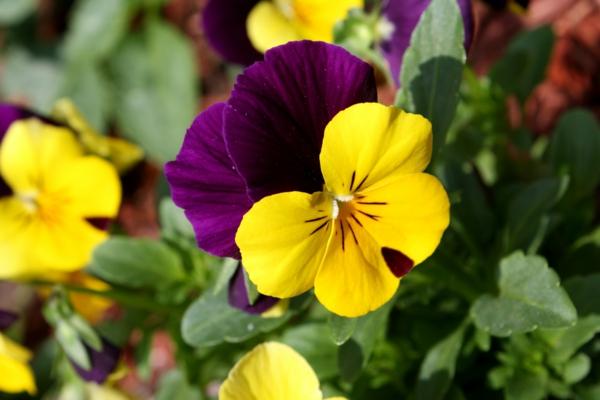 veilchen bedeutung gelb lila pflanzen