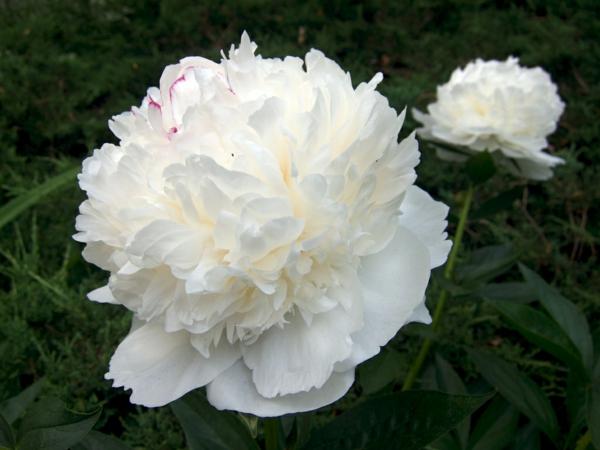 weiße pfingstrosen schöne dekoideen blumen