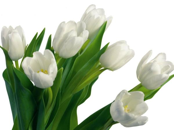 weiße tulpen garten pflanzen blumen