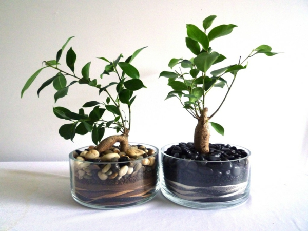 zimmerpflanzen ficus gläserne gefäße deko ideen