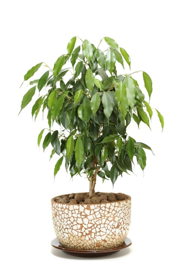zimmerpflanzen modern ficus pflanze schöner blumentopf