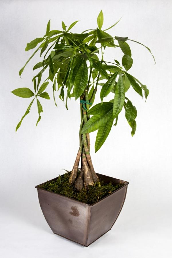 zimmerpflanzen modern schön pachira aquatica