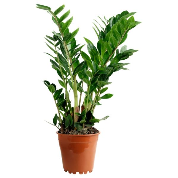 zimmerpflanzen zamioculcas pflanze schöne dekoideen