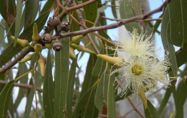 Eukalyptusbaum in der natur Wirkung