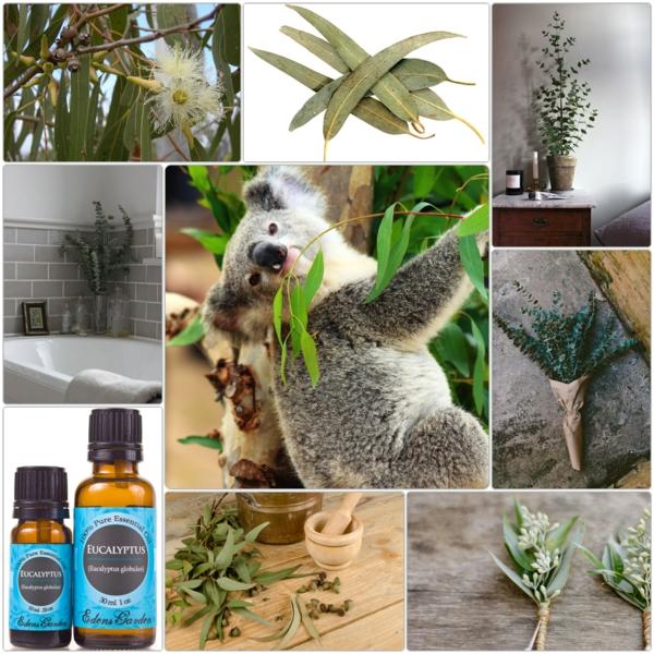 Wirkung Eukalyptusbaum gesund leben fakten