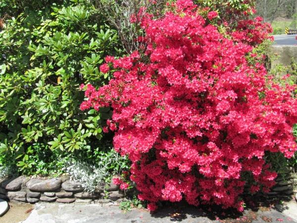 azalee busch rosa blüten garten ideen
