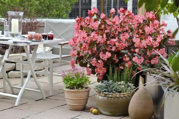 begonien begonia benariensis garten dekoideen