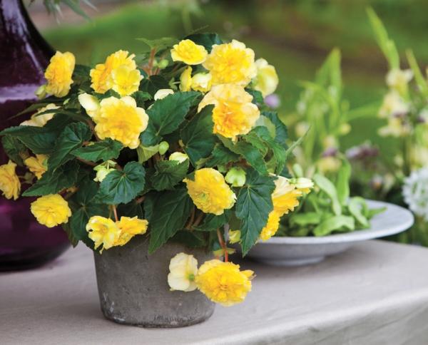begonien pflege gelb blumentopf garten pflanzen