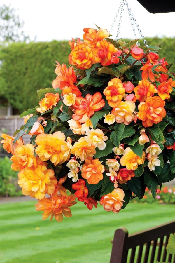 Begonien pflege was die sch nen begonien brauchen um gut zu gedeihen - Begonie zimmerpflanze ...