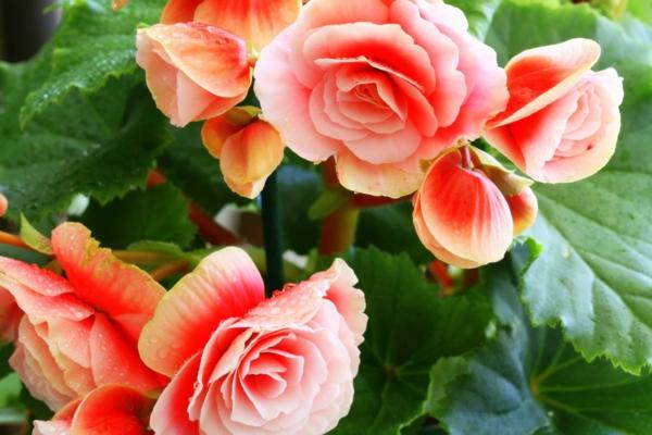 begonien pflege orange blüten garten pflanzen
