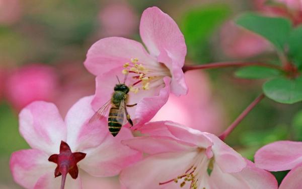 begonien pflege rosa biene garten pflanzen