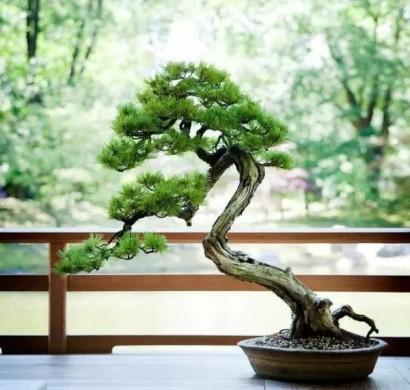 bonsai baum pflege ficus ginseng als bonsai bonsai fr einsteger die birkenfeige ficus wie. Black Bedroom Furniture Sets. Home Design Ideas