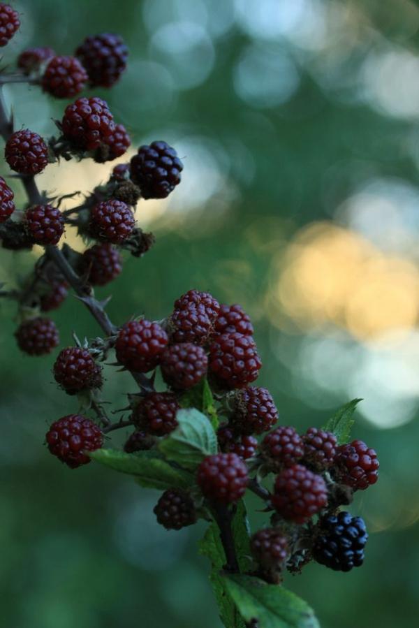 brombeeren züchten garten pflanzen exterieur