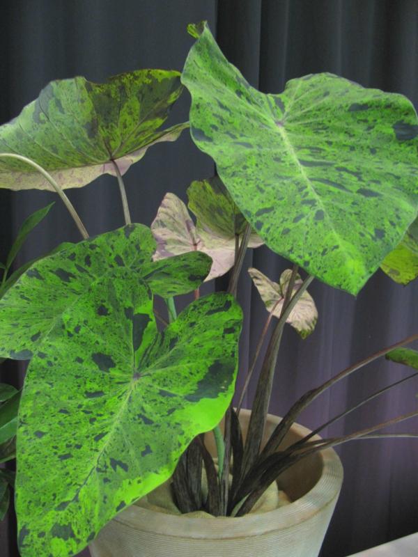 garten dekoideen pflanzen elefantenohr blumentopf