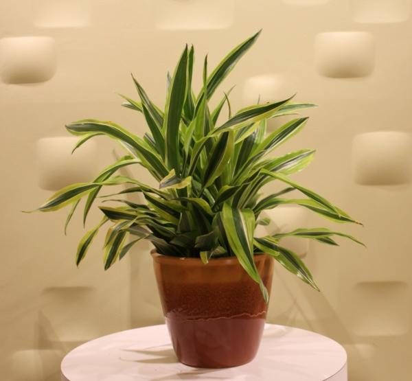 drachenbaum pflege wissenswerte tatsachen und sch ne bilder. Black Bedroom Furniture Sets. Home Design Ideas