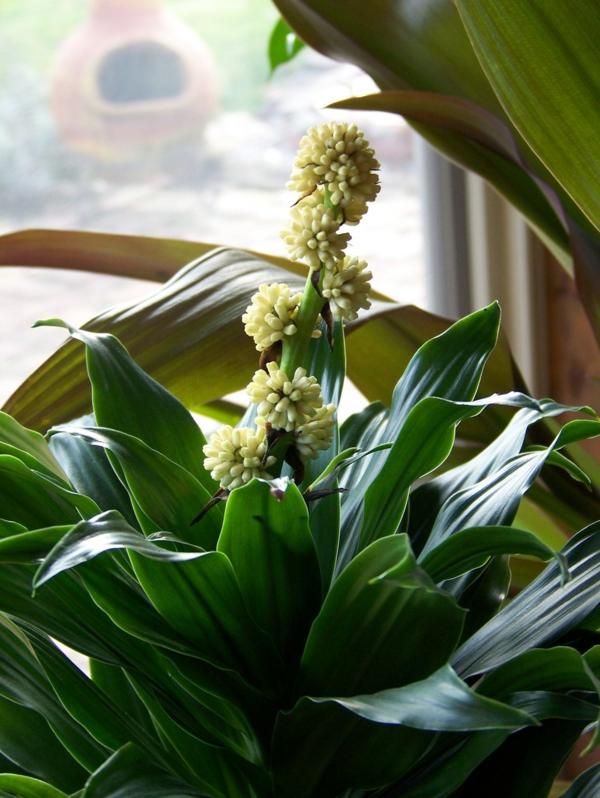 drachenbaum pflege Dracaena fragrans blüten