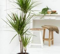 Drachenbaum Pflege – Wissenswerte Tatsachen und schöne Bilder
