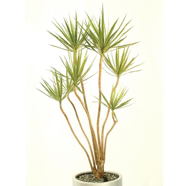 drachenbaum pflege dracaena marginata weißer blumentopf