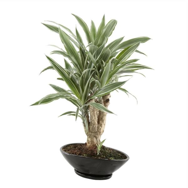 drachenbaum pflege pflanztopf garten pflanzen