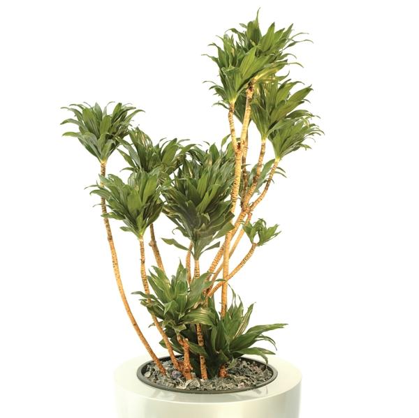 drachenbaum zimmerpflanzen schöne dekoideen