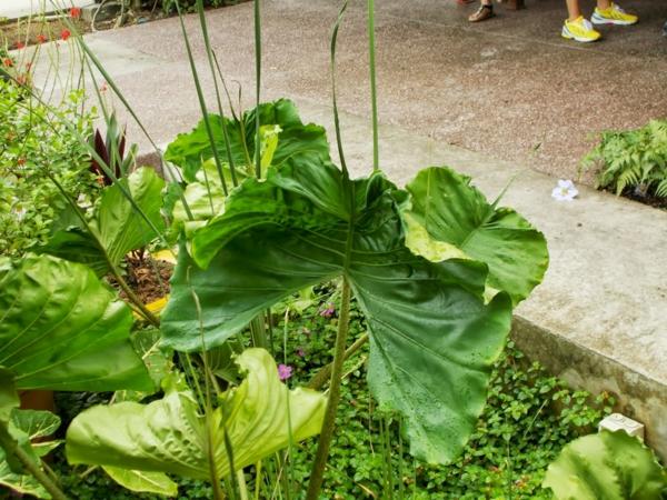 elefantenohr pflanze Alocasia macrorrhizos art