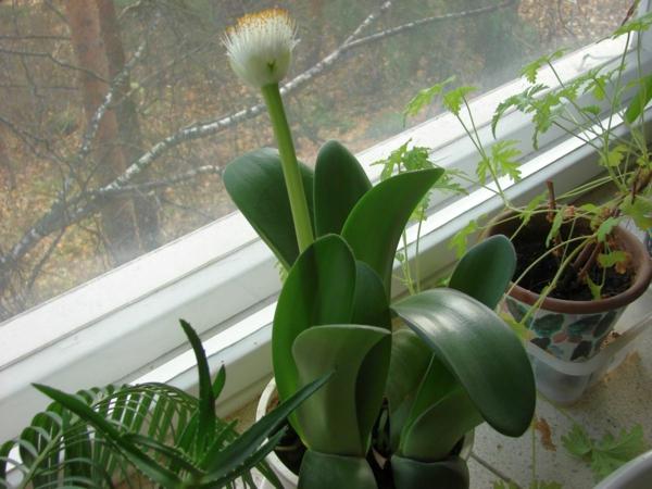 elefantenohr pflanze Haemanthus albiflos art