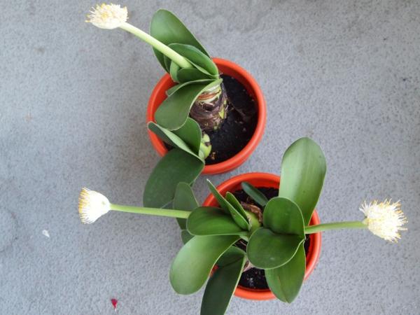 elefantenohr pflanze Haemanthus albiflos rote blumentöpfe