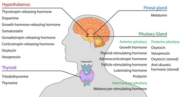 Endokrines System natürlich fördern und gesund leben
