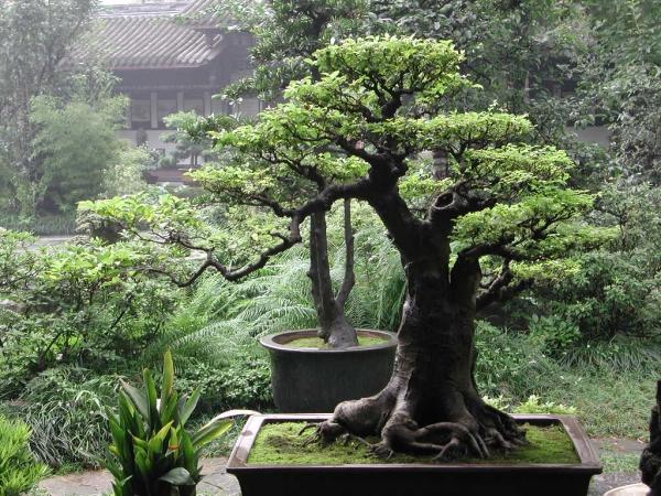 feng shui garten bonsai asiatisch