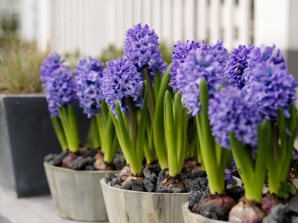 frühlingsblumen balkon bepflanzen pflanzen blumen lila hyazinthen