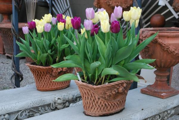 frühlingsblumen frische tulpen pflanzgefäß